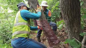 북부지방산림청, '참나무시들음병' 맞춤형 복합 방제